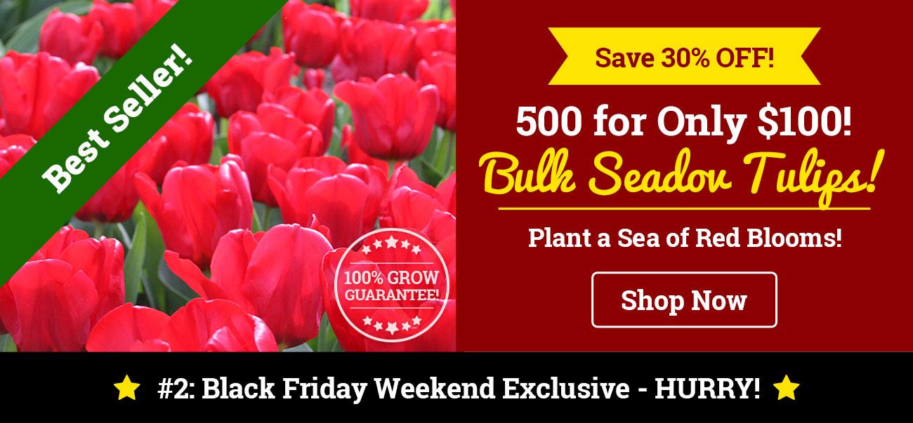 500 Bulk Tulips for Only $100!